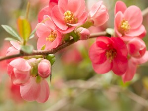 Flores rosas creciendo en la rama
