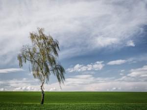 Postal: Un abedul solitario en el campo