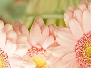 Gerberas de un suave color rosa
