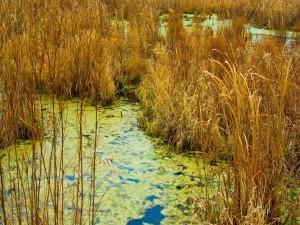 Plantas secas en el pantano