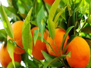 Postal: Naranjas colgadas de la rama
