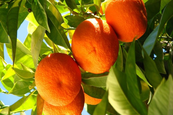 El sol ilumina las naranjas en el árbol