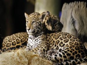 Postal: Jaguares jóvenes