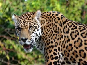 Un bonito jaguar