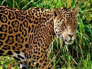 Postal: Jaguar en la hierba