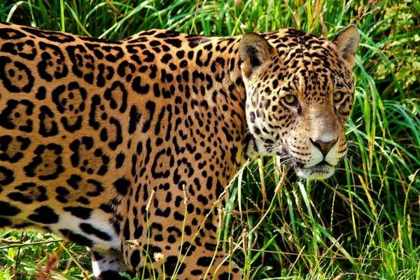 Jaguar en la hierba