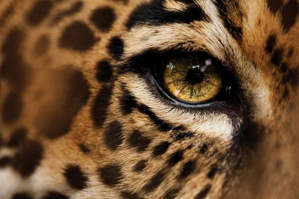 El ojo de un jaguar