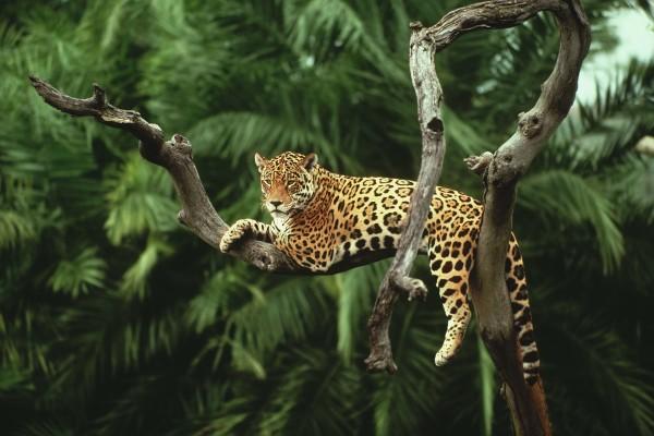 Un jaguar descansando en el árbol sin hojas