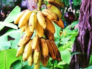 Postal: Bananas colgadas del banano