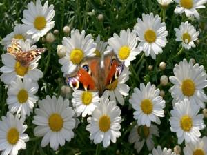 Postal: Mariposas en las margaritas blancas
