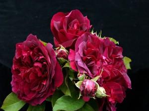 Hermosas rosas con hojas verdes