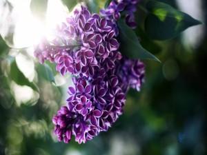 Postal: Lilas moradas en la planta