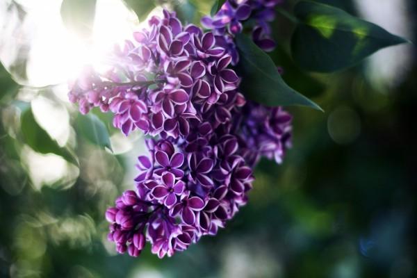 Lilas moradas en la planta