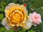 Rosas abiertas y cerradas en el jardín