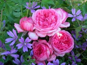 Flores moradas y rosas