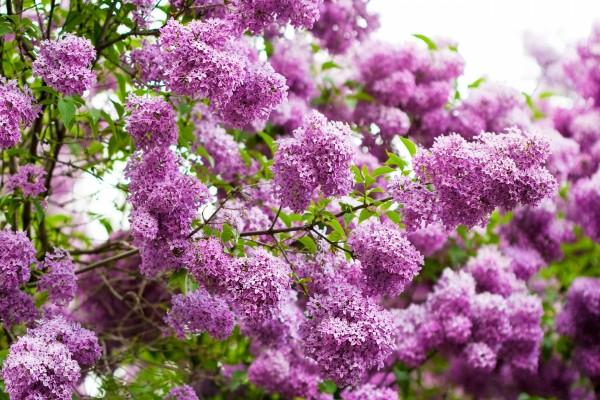 Planta poblada de lilas