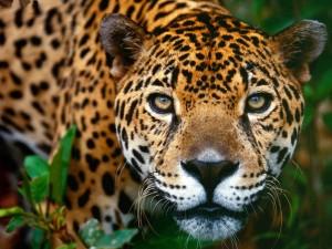 La cara de un bonito jaguar