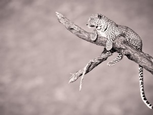 Leopardo en lo alto del tronco