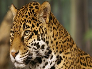 Un joven leopardo
