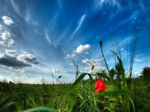 Una amapola roja entre el trigo verde