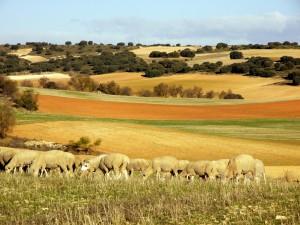 Ovejas pastando en el campo