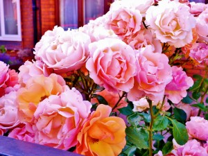 Postal: Rosas bien cuidadas en el jardín de casa