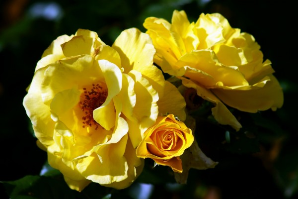 Rosas amarillas creciendo en el rosal