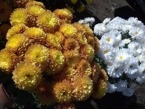 Crisantemos blancos y anaranjados