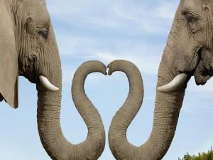 Postal: Elefantes juntando las trompas
