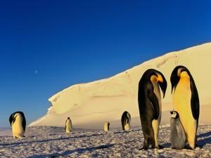 Mirando al pequeño pingüino