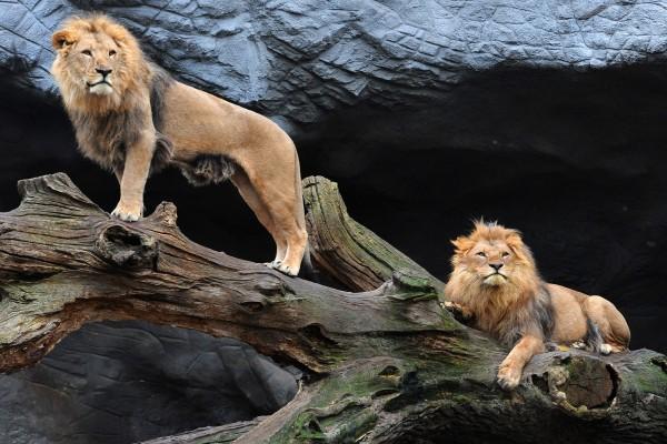 Dos leones en el tronco
