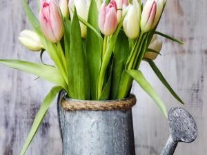 Tulipanes rosas y blancos en una regadera