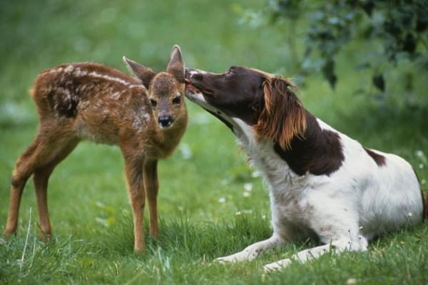 Cervatillo con un perro cariñoso