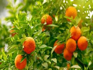 Postal: Naranjo con fruta y hojas verdes