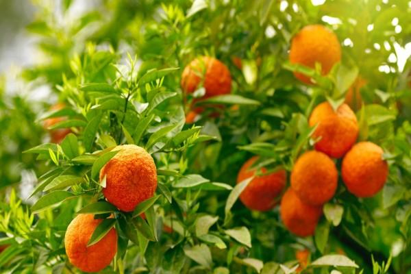 Naranjo con fruta y hojas verdes