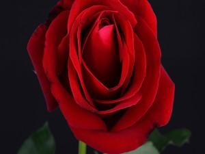 Una rosa roja con pétalos abiertos