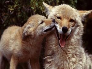 Pequeño zorro junto a su mamá