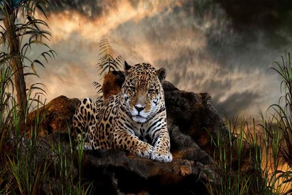 Un jaguar tumbado en las rocas