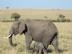 Postal: Pequeño elefante caminando junto a su madre