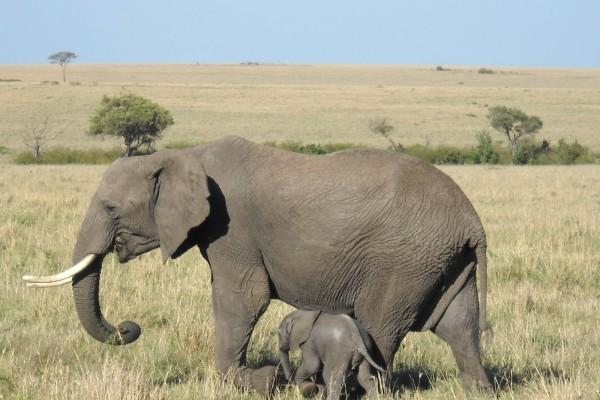 Pequeño elefante caminando junto a su madre