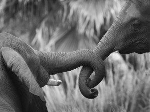 Elefantes entrelazando sus trompas