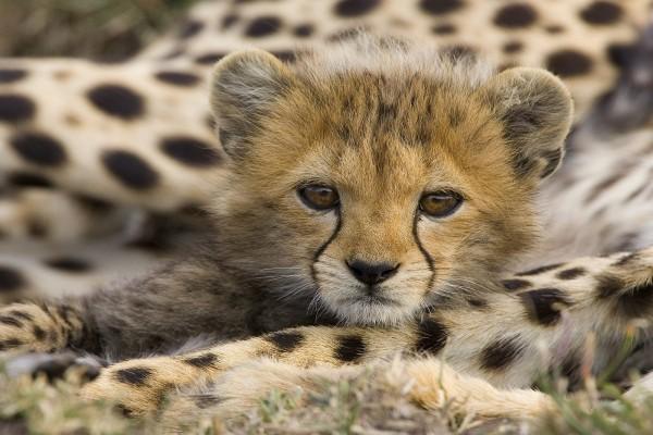 La cara de un cachorro de guepardo