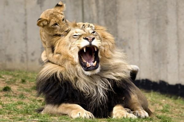 León enfadado con el cachorro