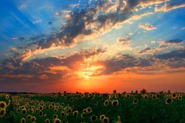 Un bonito cielo en el campo de girasoles