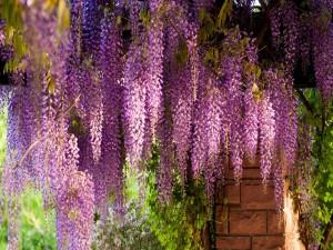 Un patio con glicinas florecidas