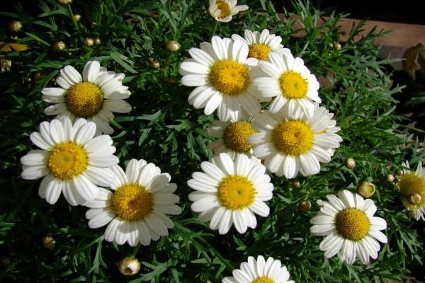 Planta con margaritas blancas