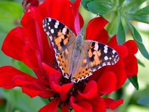 Postal: Mariposa posada en una flor roja