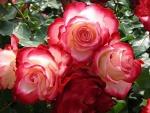 Rosas con dos colores