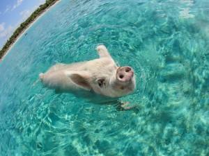 Un cerdo nadando en el mar