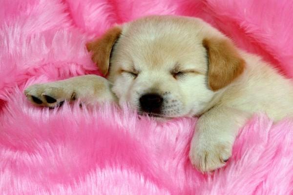 Perro dormido en una alfombra rosa